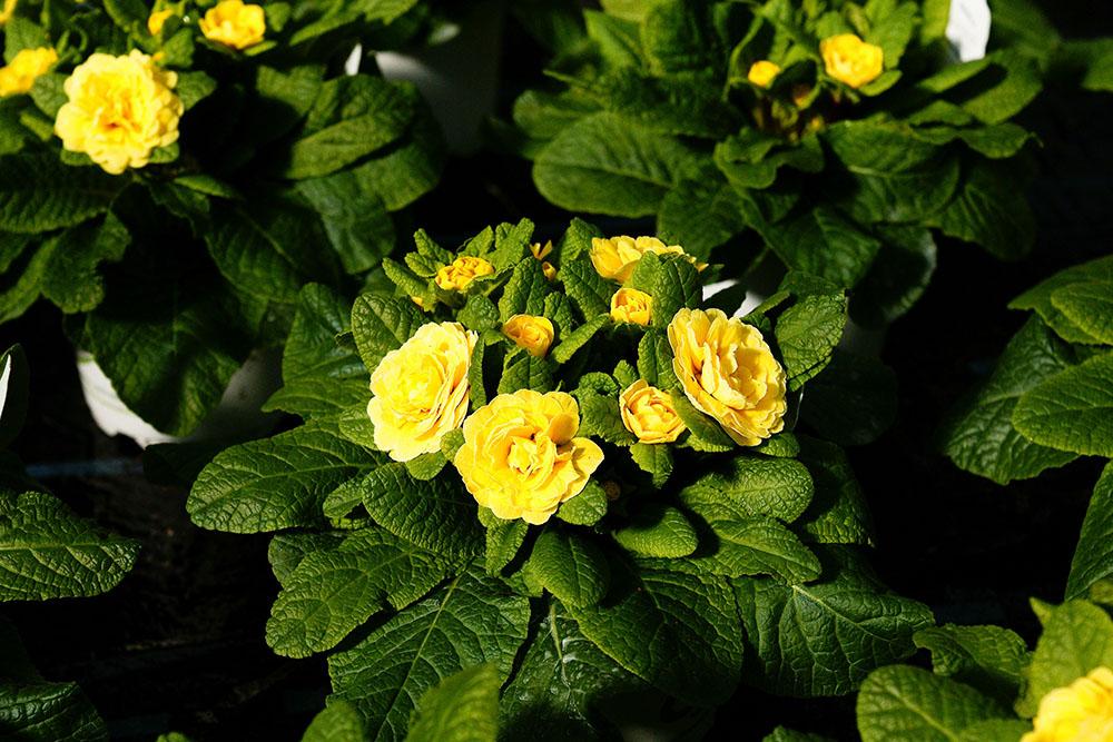 Fühlingsblumen - Ihre regionale Gärtnerei in Röthenbach Pegnitz