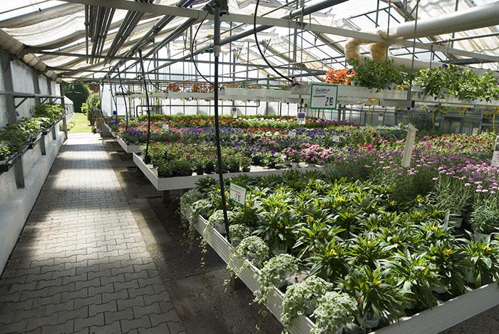 Fühlingsblumen in der Gärtnerei